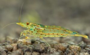 Amano shrimp full body