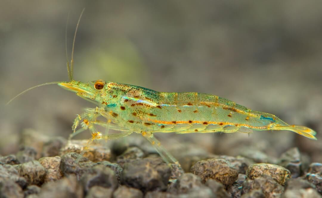 Amano shrimp full body