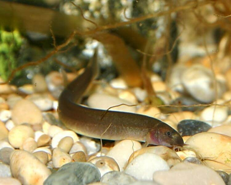 Black kuhli loach at the bottom of the tank