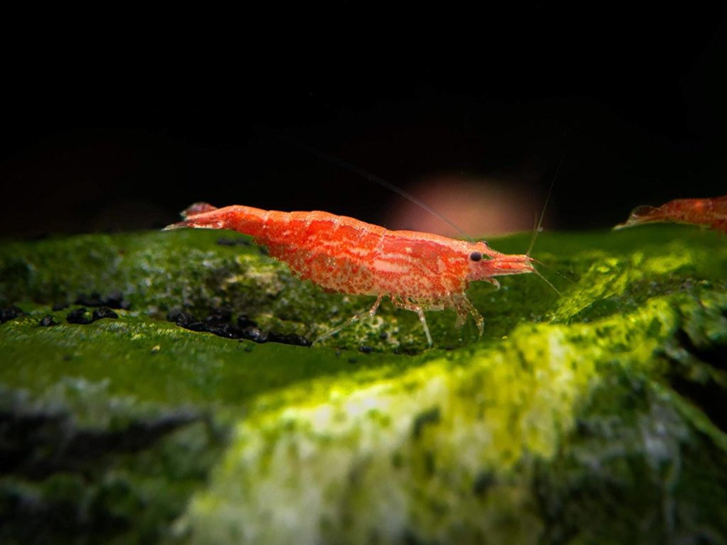 Cherry shrimp on bottom of tank