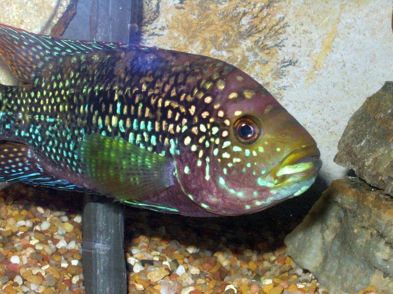 Jack Dempsey Fish at bottom of tank