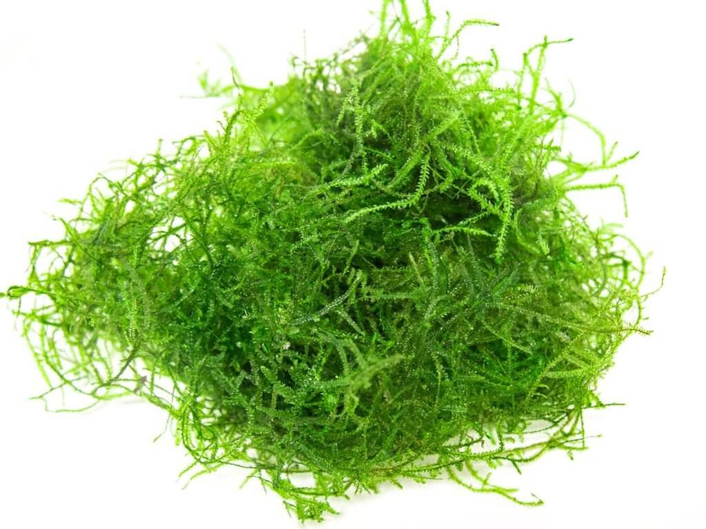 Clump of Java moss that could be floated or used for planting