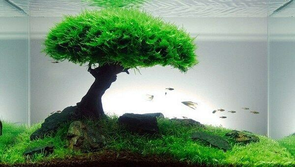 Java moss tree in tank