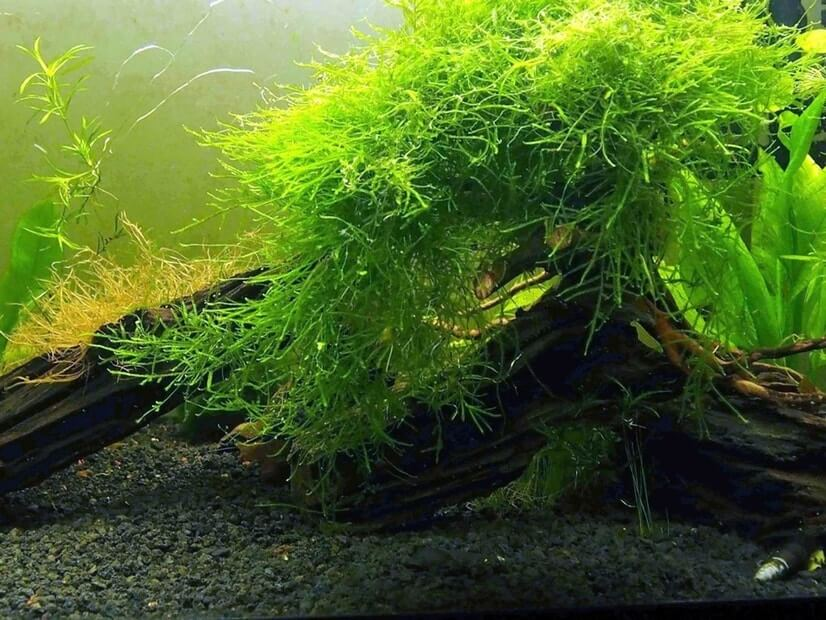Java moss growing on wood