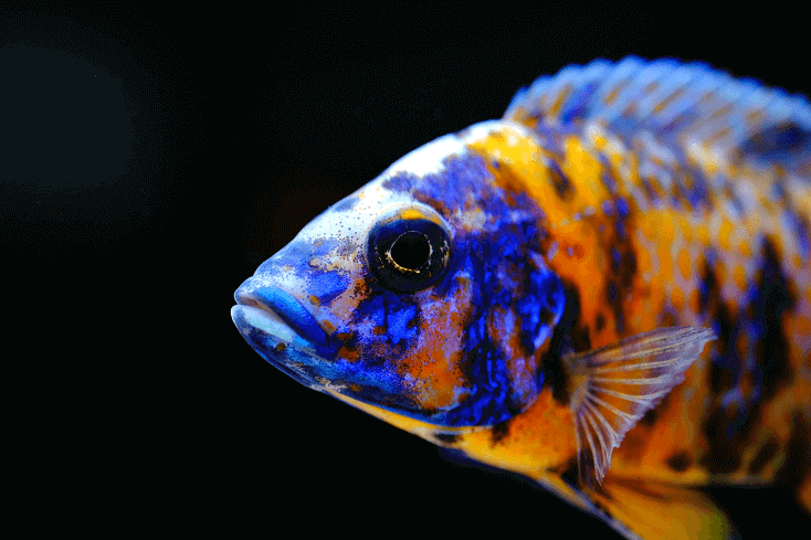 African Cichlid Care Guide: Tank Setup, Types & Tank Mates