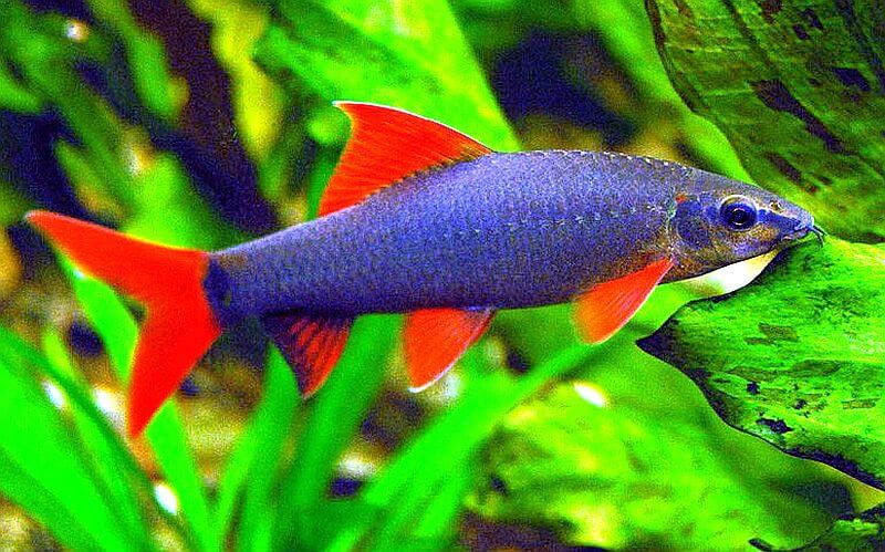 Rainbow shark with blue body eating