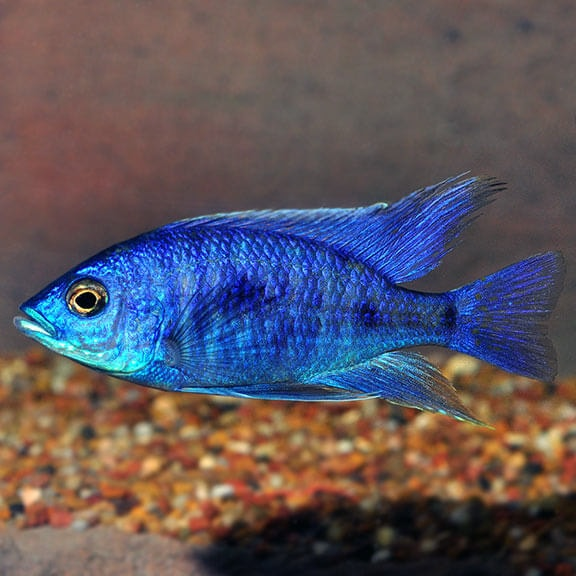 Electric blue cichlid swimming near bottom of tank