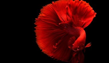 Red betta fish swimming