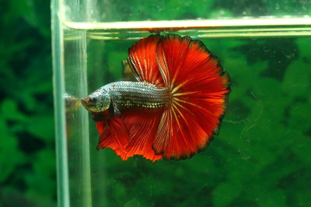 Betta fish lifespan in a tank