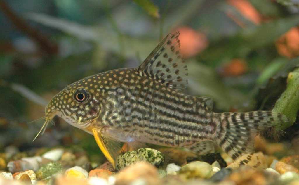 Corydoras with neat pattern on the side of it's body
