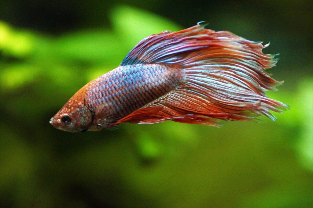 How long do betta fish live featured pic