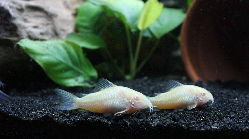 Two albino Cory catfish swimming next to each other