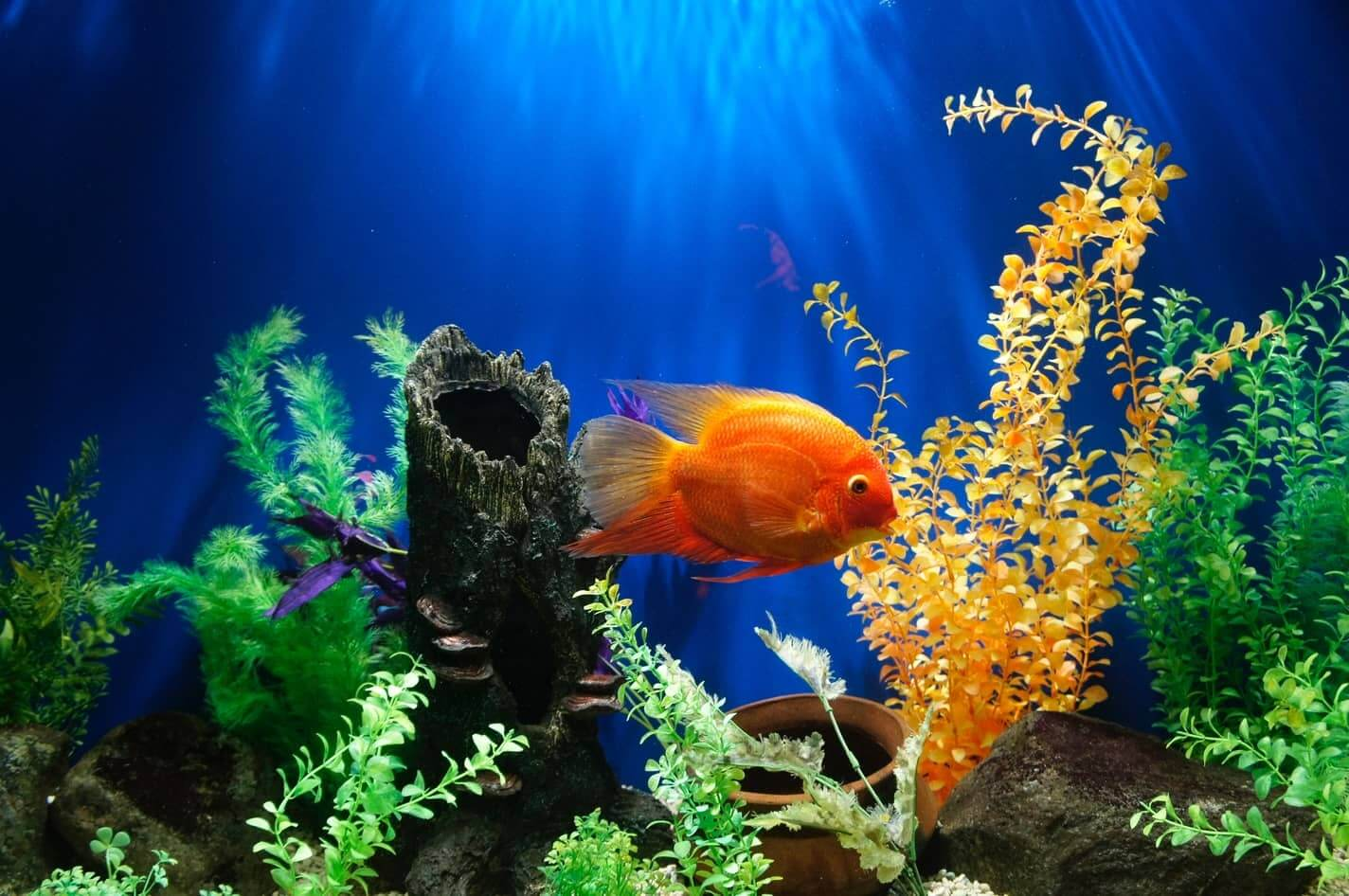 Fish swimming in a properly cycled tank