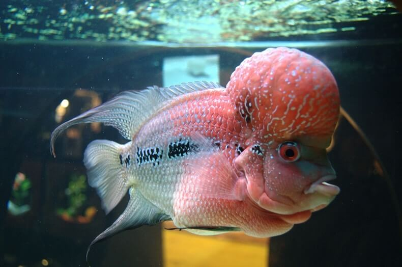 Side profile of a flowerhorn