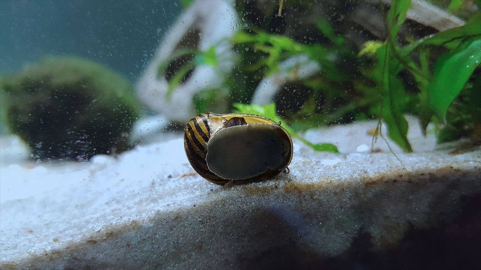 Nerite snail near the substrate looking for algae