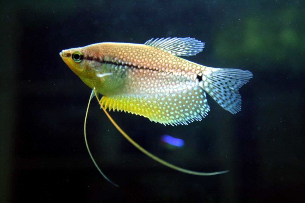 Pearl gourami side profile