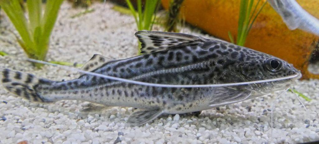 Pictus catfish care tips