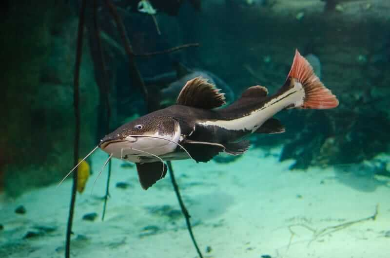 Redtail catfish in a sparse tank