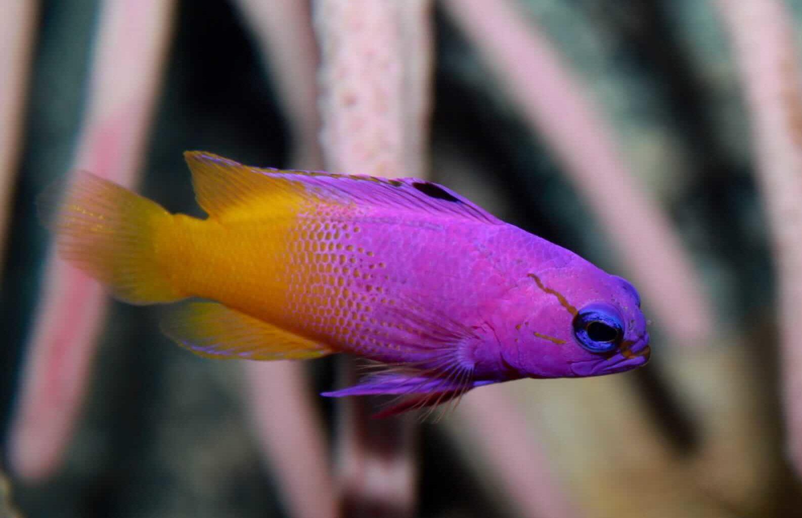 Royal gramma swimming in a reef tank