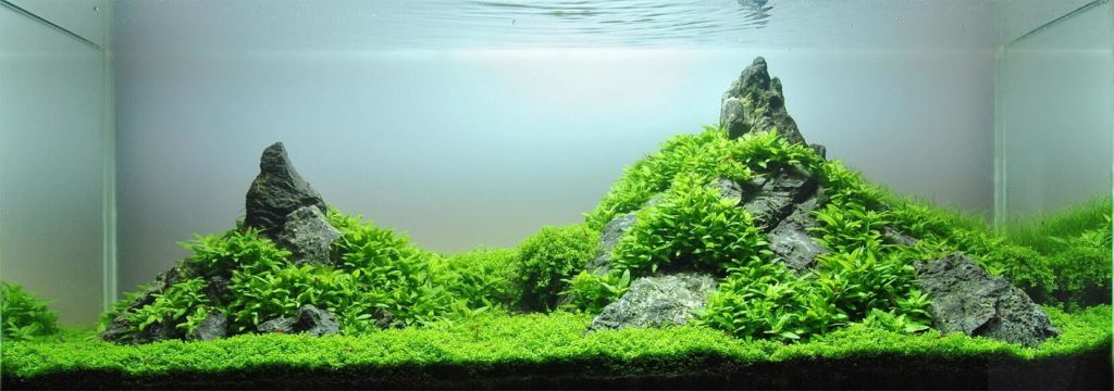 Staurogyne repens carpet in tank