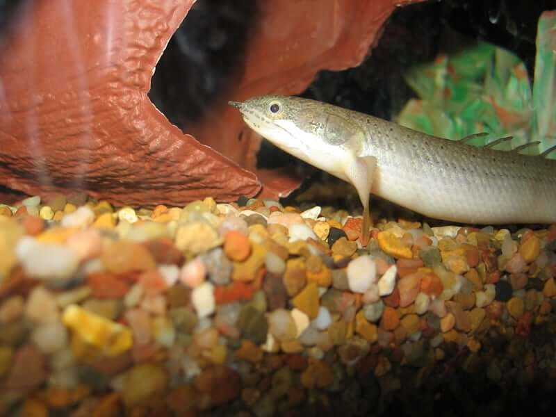 Nocturnal bichir at night