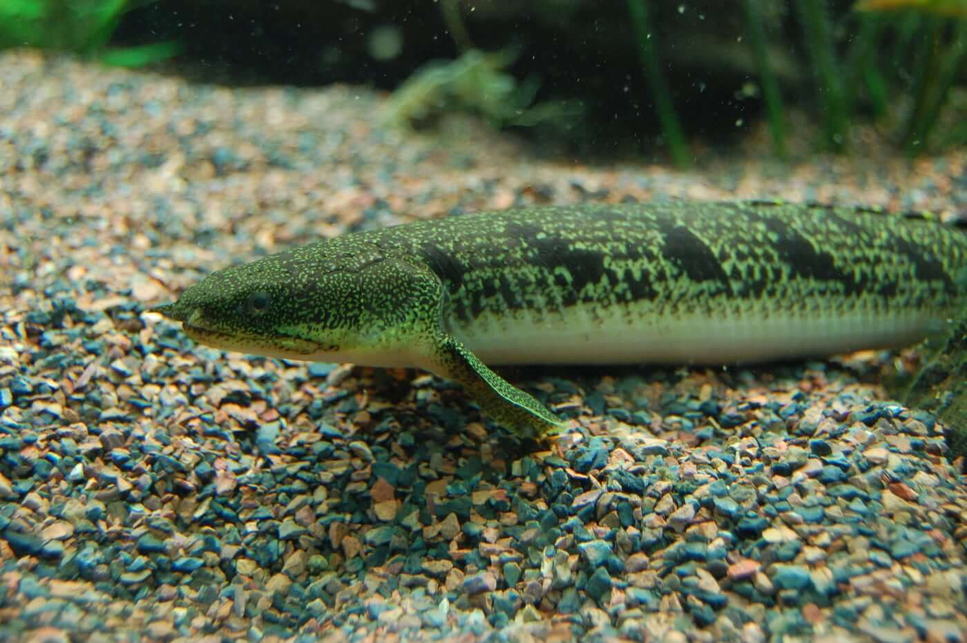Bichir on the substrate