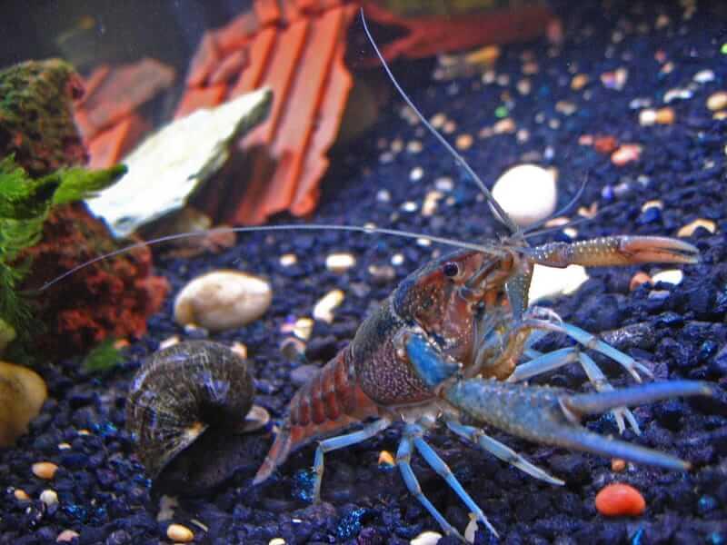 A bottom feeder crayfish