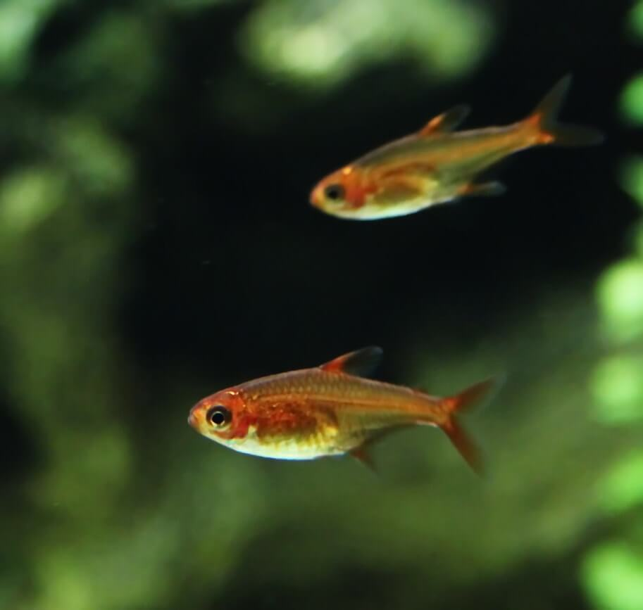 Fire tetra swimming together