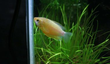 A honey gourami in an aquarium tank