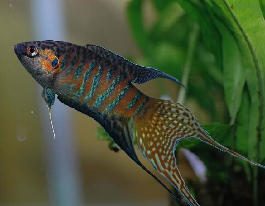 A side profile of the paradise gourami
