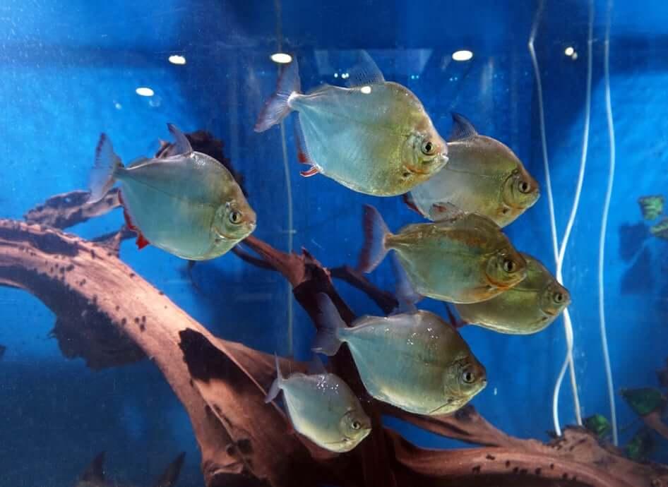 A school of silver dollar fish