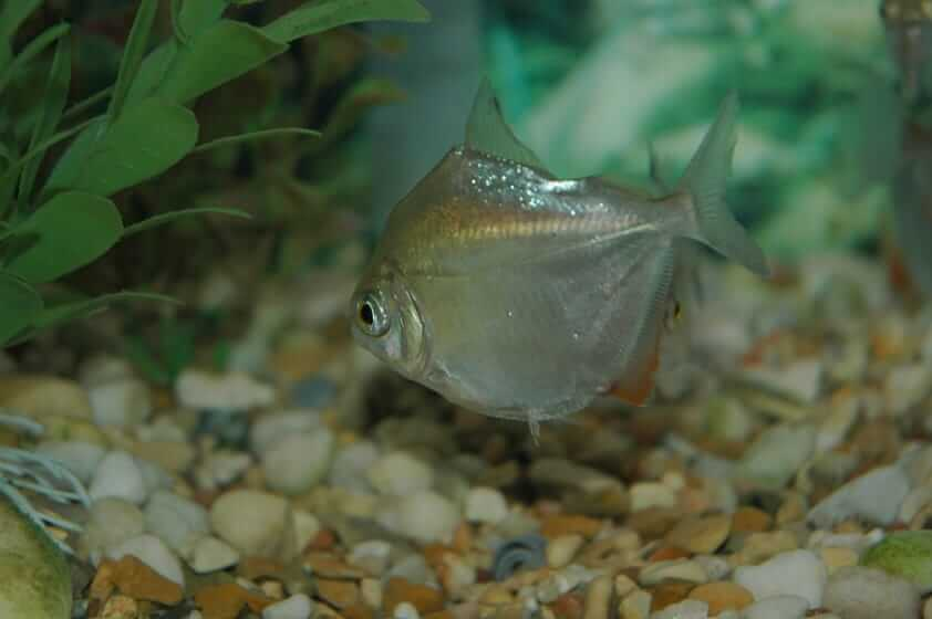 A large silver dollar fish swimming near the substrate