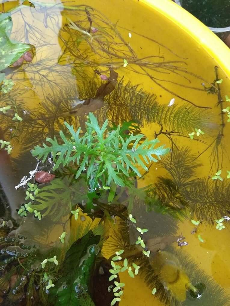Growth rate of water wisteria demonstrated in outdoor bucket