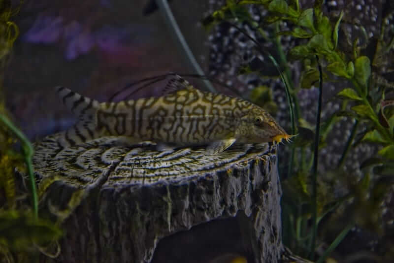 A yoyo loach resting on a log