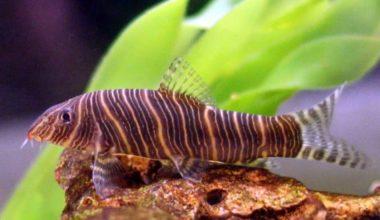 The Zebra loach bottom feeder fish
