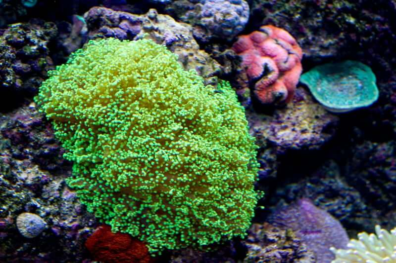 Green frogspawn coral creating a glowing effect