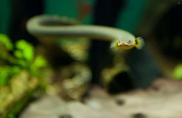 A rope fish swimming in the tank