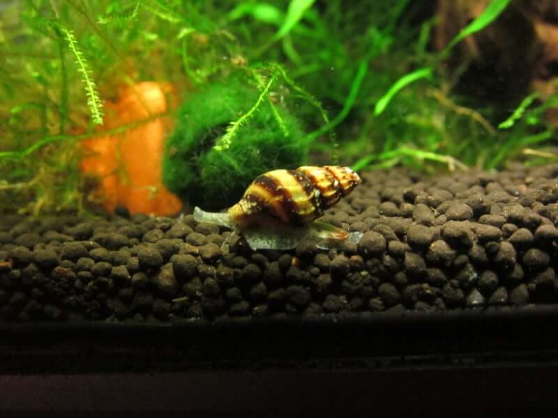 An Assassin Snail moving along the substrate