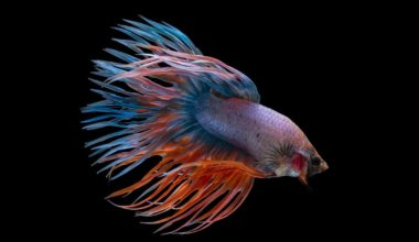 A colorful betta fish not eating