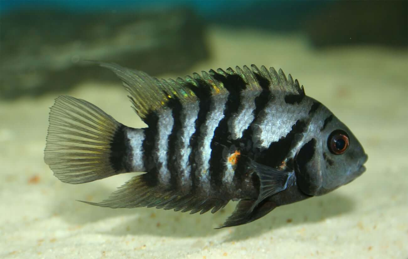 Side view of a convict cichlid