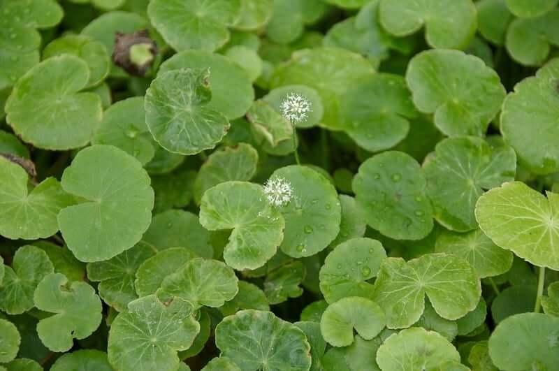 Floating Brazilian Pennywort