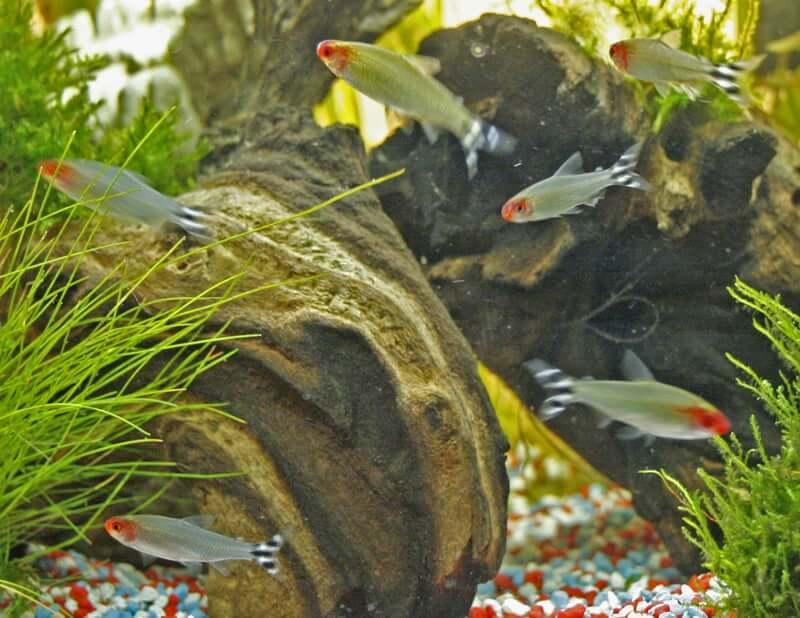 A shoal of Rummy Nose Tetra socializing