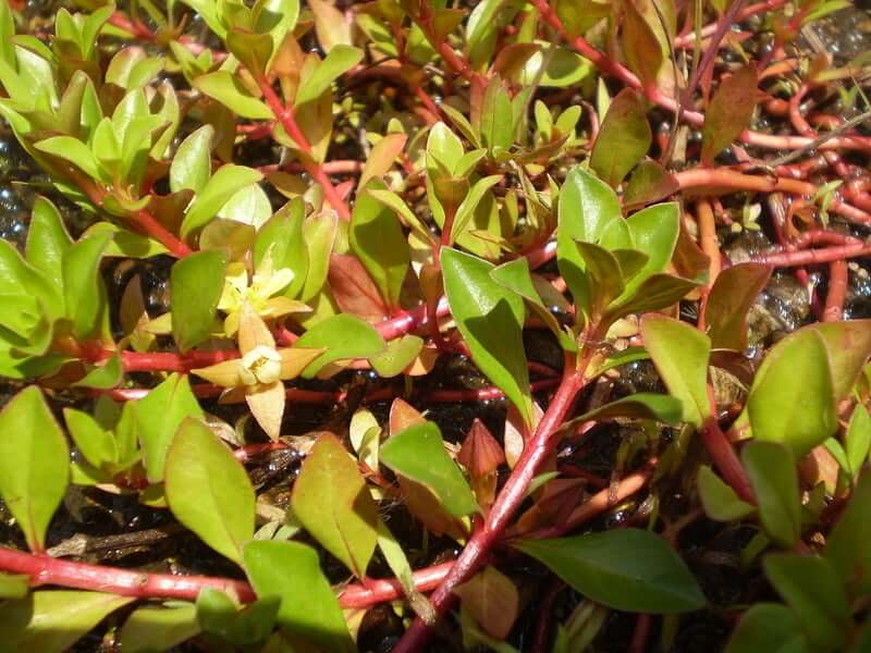 A picture of Ludwigia Repens before it's used as a floating plant in an aquarium
