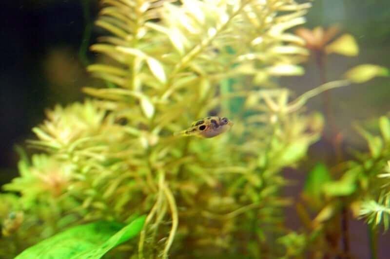 A pea puffer swimming quickly past plants in the tank