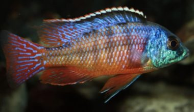 Red Empress Cichlid swimming
