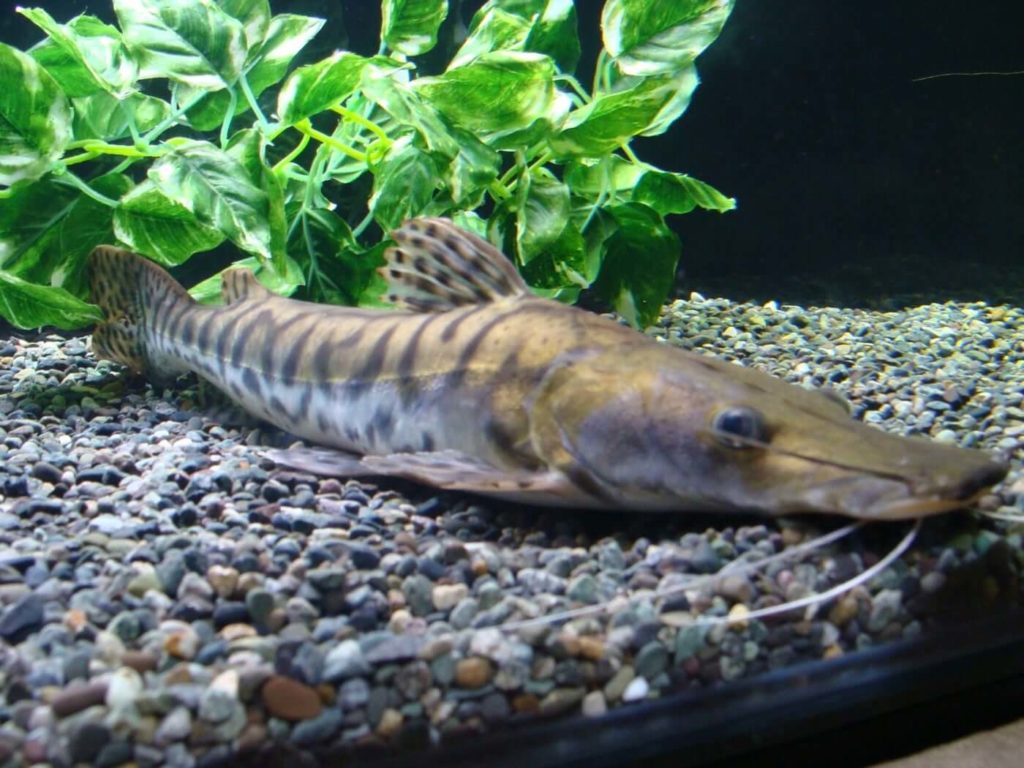 A tiger shovelnose catfish in a tank