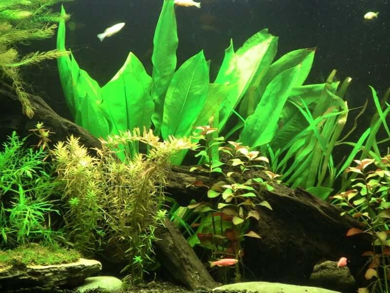 Amazon Sword plant in an aquarium