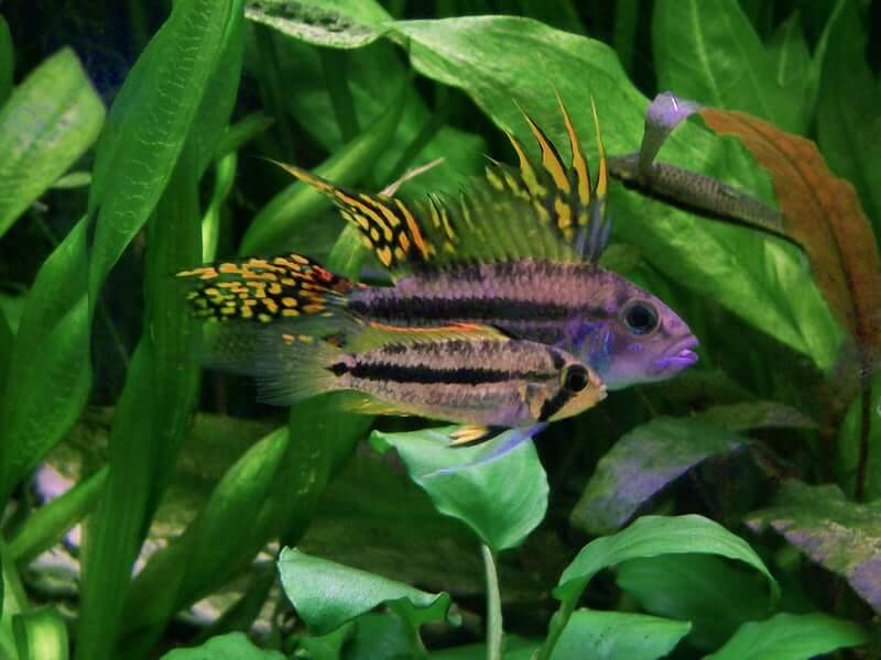 Two Apistogramma cacatuoides swimming together in an aquarium