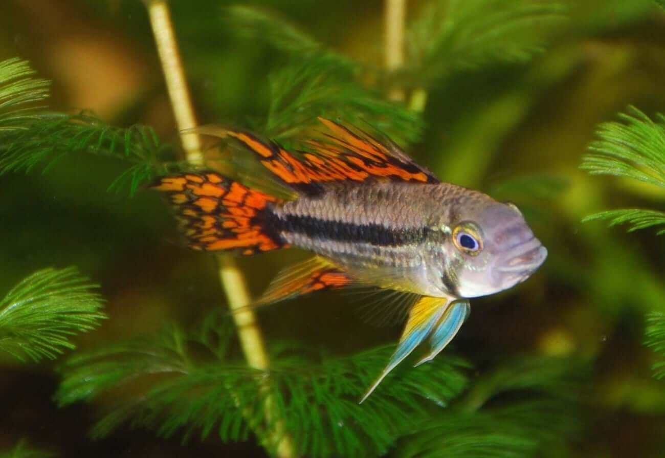 An Apistogramma swimming in a planted tank