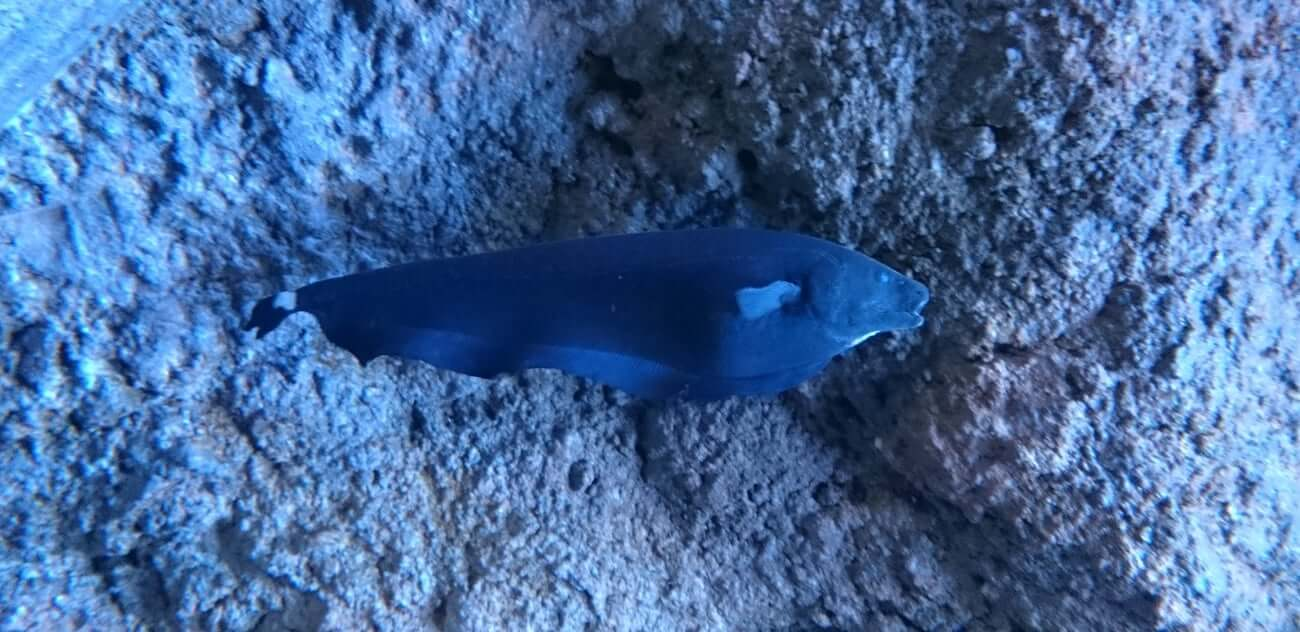 A swimming black ghost knife fish